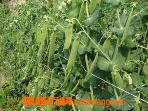 豌豆的营养价值和特点